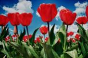 Perky van Gogh's - Tulips