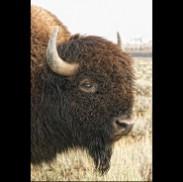Standing Bull