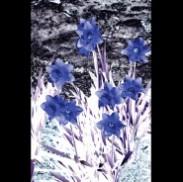 Blue Magic - Daffodils