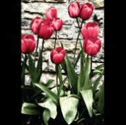 Artist's Red Tulips