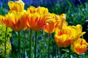 Smiling Sunshine - Tulips