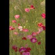 Kiss of Sunshine - Poppies