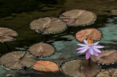 Jerry Kaufman, pink lilly, Honolulu, Hawaii, photography of Hawaii flower