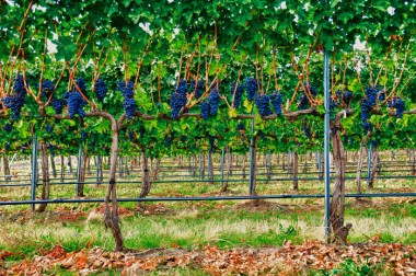17_Vines-and-Grapes