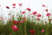Pink Silhouettes of Love - Poppies