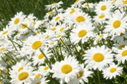 Morning Stretch - Daisies