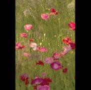 Kiss of Sunshine - Poppies